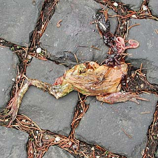 dead frog on road paving stones
